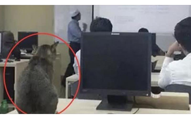 上課上到一半,一隻貓咪以為自己是新同學緩緩走進教室!