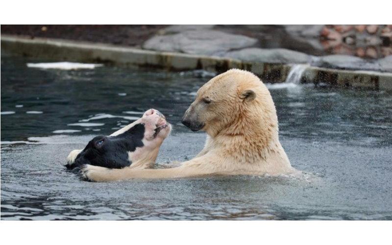 網友拍到動物園的北極熊與乳牛相親相愛!沒想到下一秒竟引起全場尖叫..:我看了什麼