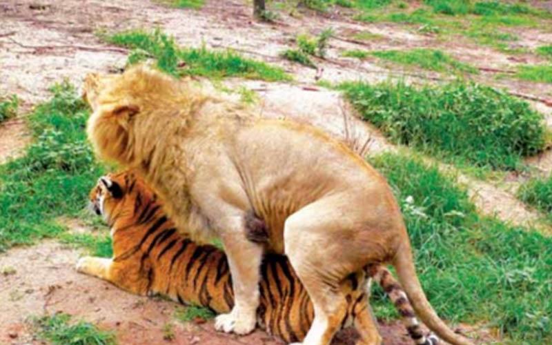 獅子與老虎交配後的動物妳見過嗎?身上有虎紋像虎又像獅!