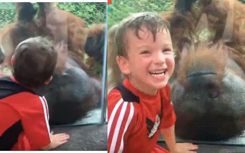 他去動物園參觀並對著倒吊的紅毛猩猩獻上一吻,沒想到牠的反應可愛極了!