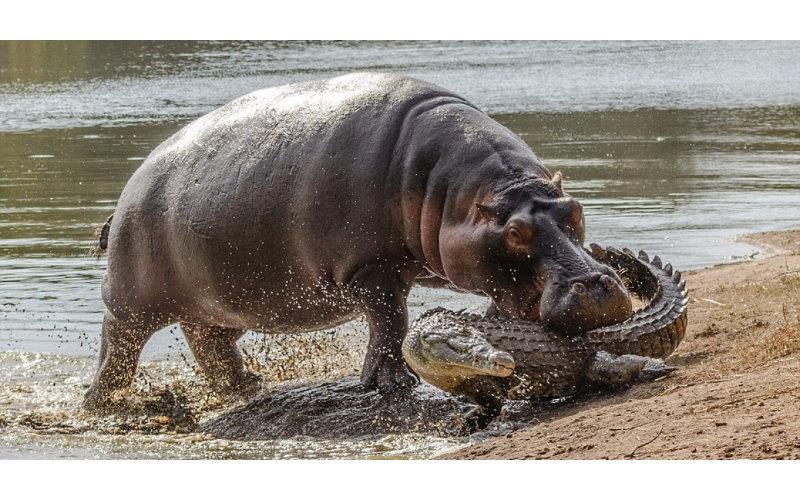 鱷魚趁母河馬不在「狠咬河馬寶寶」 河馬媽媽回來看見…爆氣衝上去給教訓