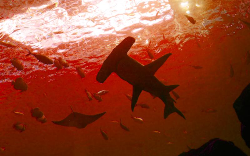 竟然不會被煮熟?!海底火山口驚見鯊魚游來游去,科學家不敢相信自己的眼睛