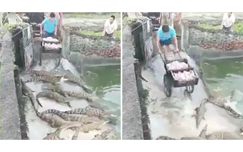 你敢做這份工作嗎?飼養員親自將「新鮮生肉」用推車送進鱷魚池!網友嚇瘋:光看就尿失禁(影)