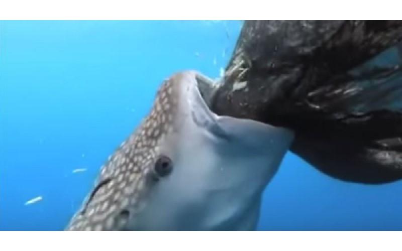 海中吃到飽?聰明鯨鯊發現「捕魚網有洞」立刻狂吸 模樣超療癒