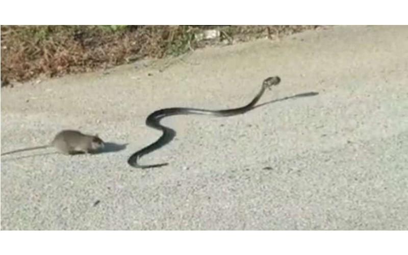 這隻母鼠發現小孩「被兇猛大蛇咬走」,奮不顧身與蛇搏鬥:為母則強!