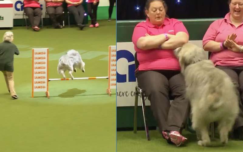 超嗨狗狗參加障礙賽太興奮,「完全不受控」模樣意外贏得全場觀眾喜愛!