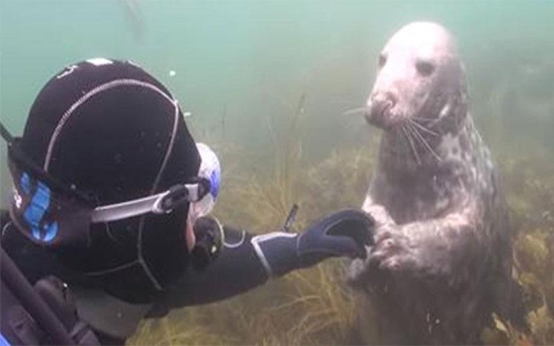 超親人海豹「一直拉他手」潛水員超困惑,直到牠往後一躺才秒懂「原來是要討摸摸」!