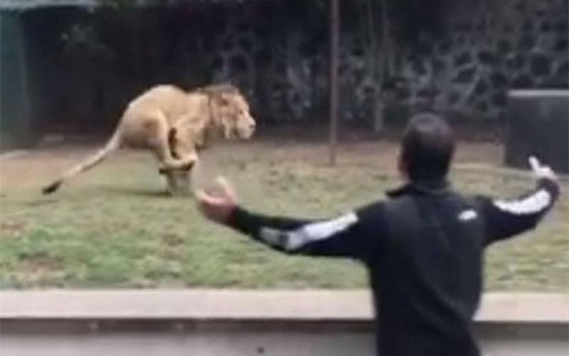 救命恩人來看牠,兇猛獅子急剎車秒切換模式...下一秒可愛炸!