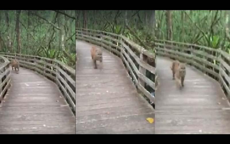 他登山時看到一隻野豹朝自己衝過來,以為死定了,沒想到結局超展開?!