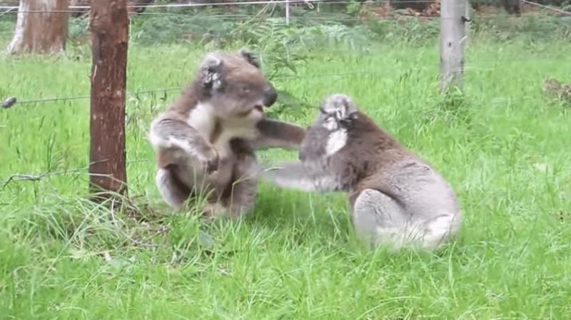 遊客意外捕捉「兩隻無尾熊在吵架」 仔細一聽這「吵架聲」超魔性!網友:拜託讓他們繼續吵XD