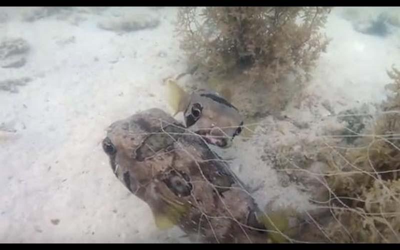 他浮潛碰到被漁網困住的河豚,當他準備解救時,另外一條河豚的舉動讓他感動不已!