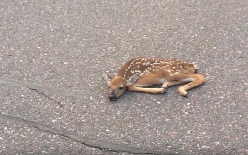 路上驚見「小鹿倒地」,把牠抱到路邊後下一秒「奧斯卡級」的轉變讓人大傻眼!