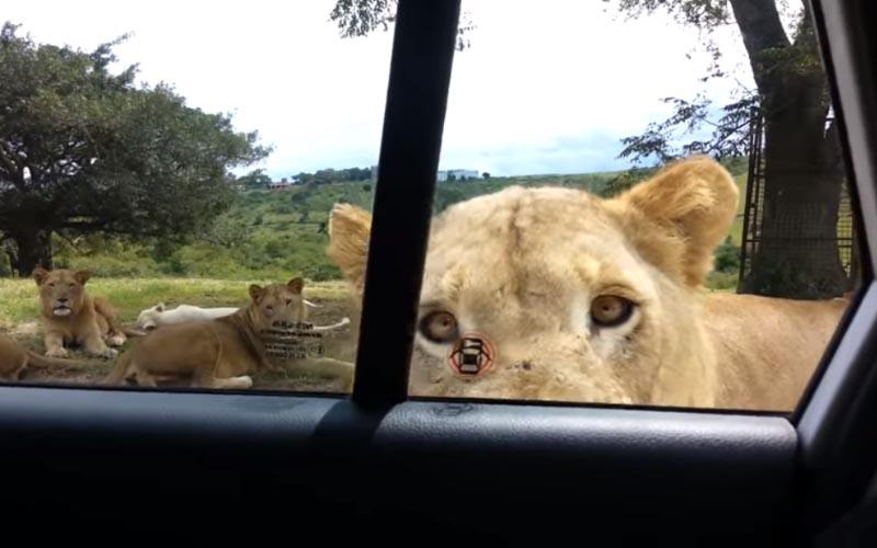 動物園驚魂!母獅「咬開車門」乘客險成鮮肉...差點就變成下一餐了!