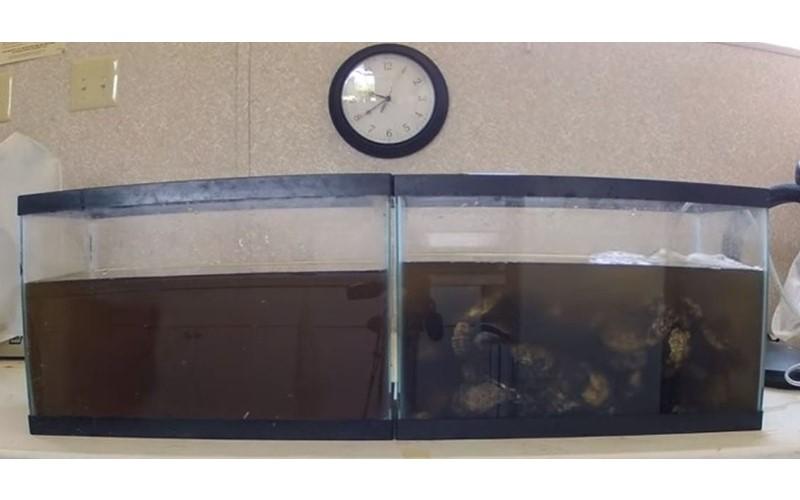 把牡蠣丟進一盆黑水中,2小時後見證超狂「天然過濾淨水功能」!饕客一看哀號:再也不敢吃....