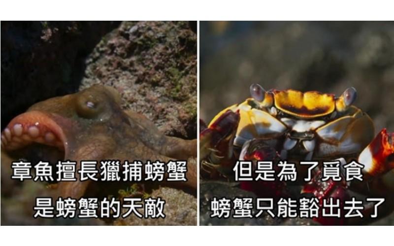 比動作片還刺激! 螃蟹被海鰻和章魚夾殺的「超驚險片段」網:看螃蟹走路莫名療癒...(影)