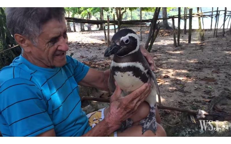 千里迢迢來報恩!這隻企鵝每年「游8千公里」見救命恩人