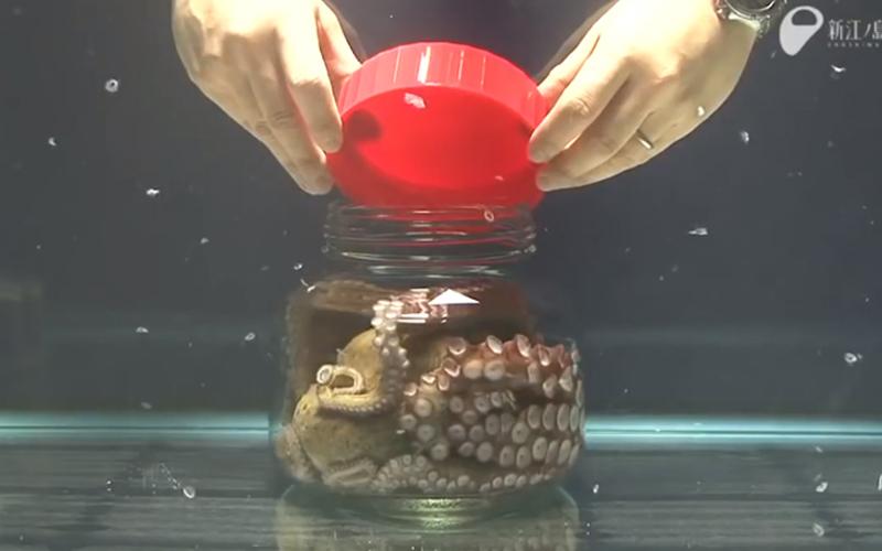 把章魚關在罐子裡會發生什麼事?你一定沒想到牠們會用這樣的方式逃走!