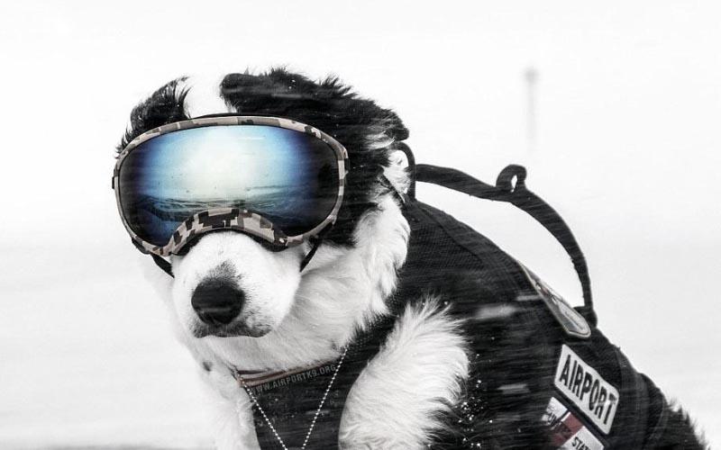 還記得「狗界天菜」Piper嗎?機場「最帥狗英雄」生前驅逐8千隻鳥…病故最後一天還在工作