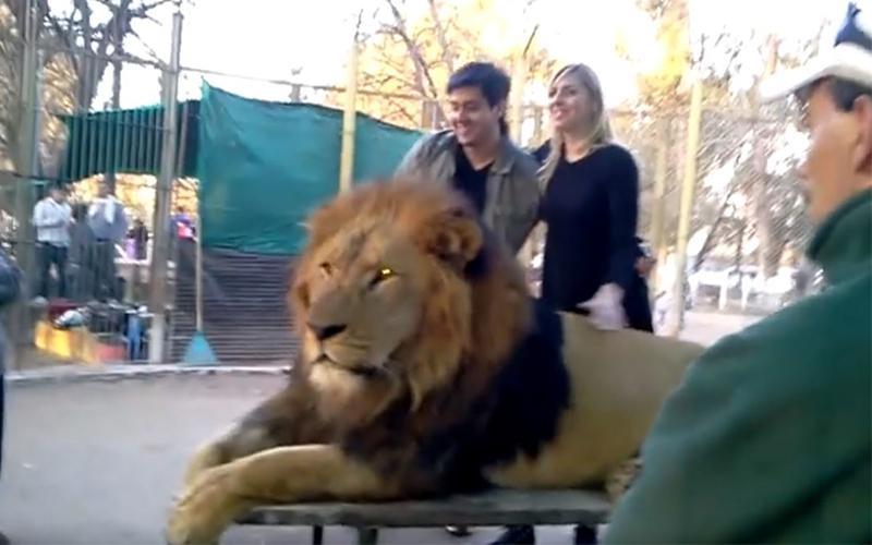 動物園開放「與獅子親密互動」吸引大批遊客上門,專家「蒐證殘忍真相」怒轟:已犯法!