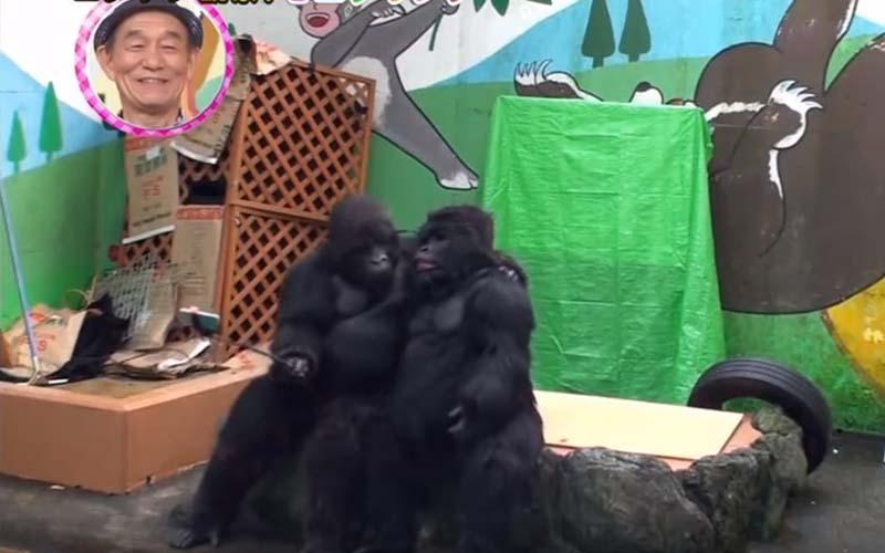 日本知名搞笑團體假扮猩猩混入動物園,仰臥起坐自拍樣樣來,遊客全看傻!