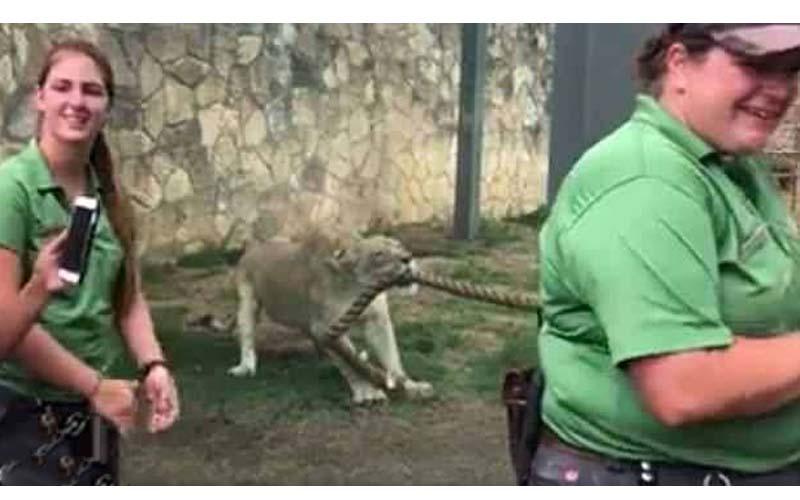 三名壯漢與小獅子玩拔河,怎麼拉都無動於衷,終於見識到獅子的力氣有多大!