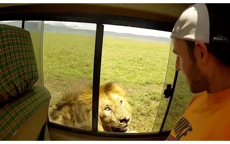 中二屁孩打開車窗想「伸手摸獅子」下一秒獅子發怒「轉身一吼」差點掰了