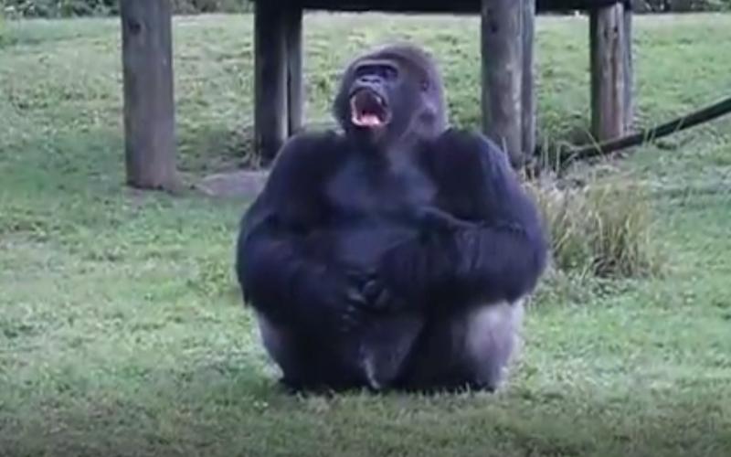 大猩猩對遊客比手語,遊客心疼「丟食物」後,下一秒牠馬上轉身這麼做!