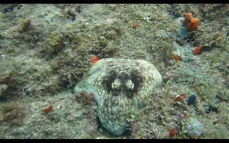 章魚絕對是深海底最會偽裝的生物了!這個偽裝過程讓人嘖嘖稱奇!
