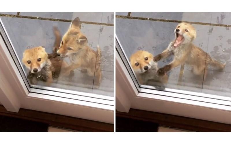 「有人在嗎?」小狐狸興奮敲門 同伴慌忙推開:不要亂敲人家家門啦~