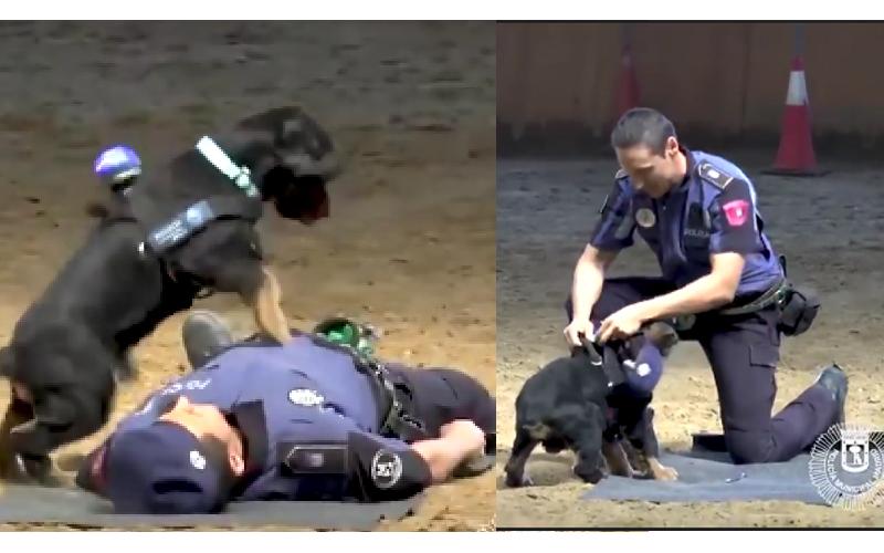 警察痛苦倒地 聰明警犬「秒用CPR急救+檢查脈搏」,立刻上演一場英雄式的表演