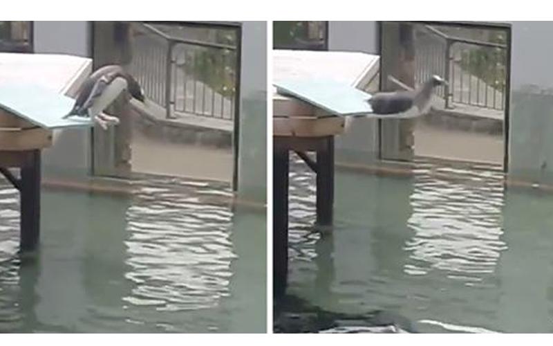 懼高小企鵝來回走動不敢跳水,卻...不慎腳滑落水「跌個狗吃屎」全場笑翻
