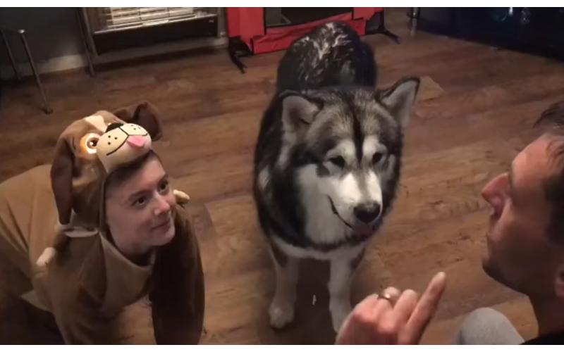 女孩「穿布偶裝」假裝是狗,阿拉斯加犬看一眼同步訓練,網笑主人真奇葩!