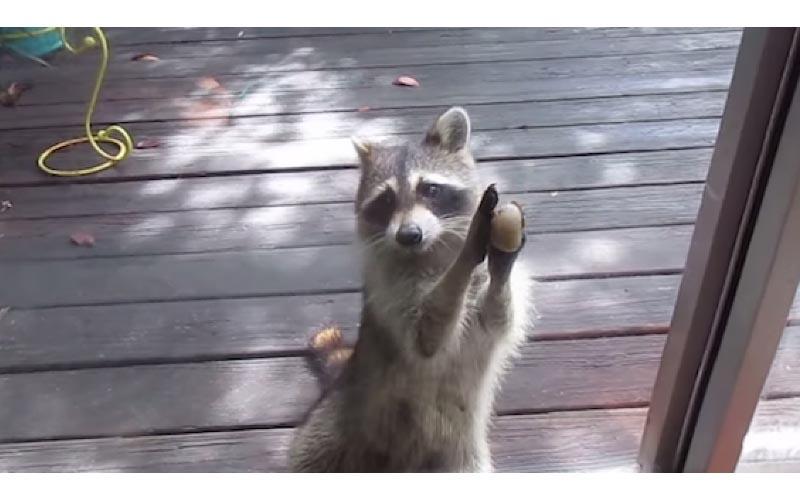 每天都來偷吃的貓糧沒了! 浣熊用石頭敲門:那個...可以補一下嗎?