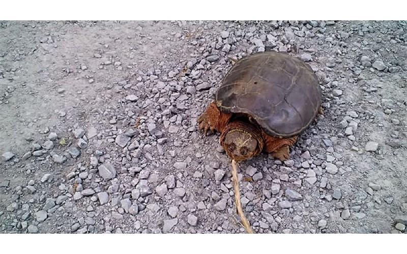 屁孩玩弄路邊休息的烏龜 突然「龜之光速逆襲」害他眼前一黑...網友笑:傻傻的~這隻是狠角色