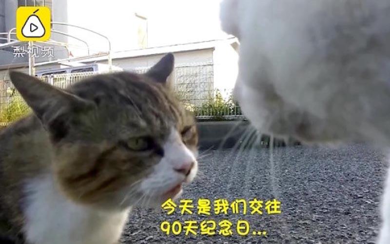 喵星人吵架君子動口不動手!貓情侶吵架 男友緊張甩尾:寶貝對不起...
