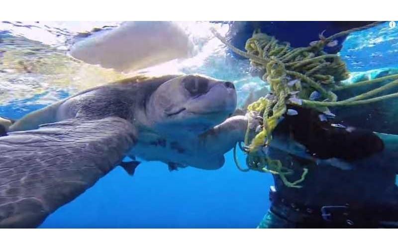 海龜被纏住受傷「男子仔細幫牠解開」重獲自由!以為牠要游走....下一秒卻「游向救命恩人道謝」超暖心
