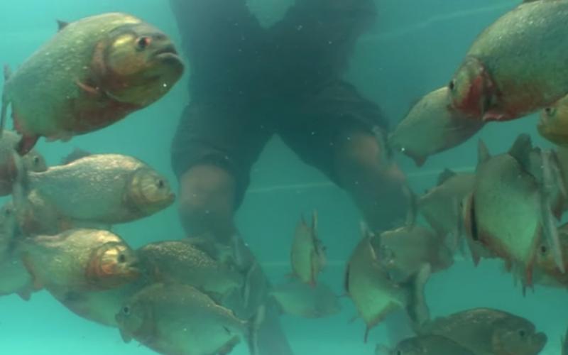 不怕死實驗!他下半身泡進裝著「100條食人魚的池子」!:是送上門的大餐?